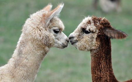 alpaca-cute